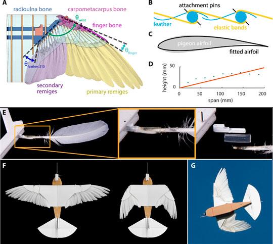 Бионический беспилотник с крыльями из голубиных перьев