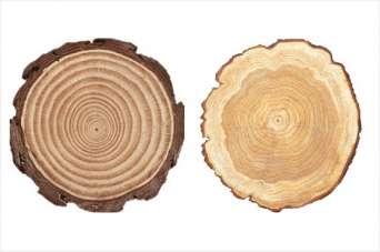 Что такое каучуковая древесина. Фото и видео