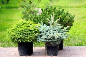 Як саджати і доглядати хвойні рослини у саду і на терасі – поради експерта